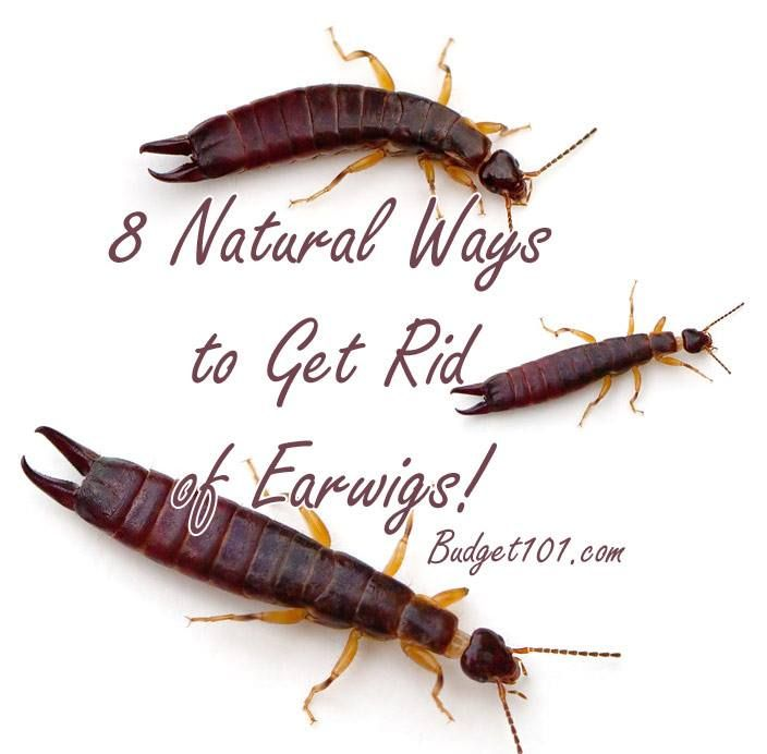 Natural Ways To Prevent Earwigs