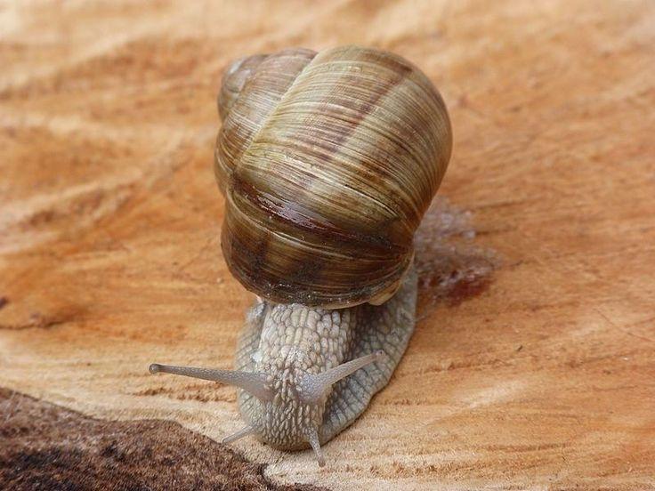 Snails, present in the Paleolithic diet 10,000 years earlier than previously thought.  ---  Los caracoles, presentes en la dieta paleolítica 10.000 años antes de lo que se pensaba