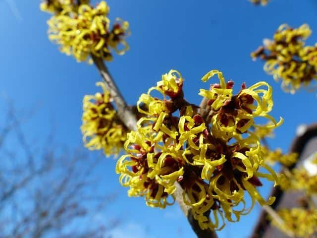 Witch hazel is most commonly known for its healing and medicinal properties, but it's actually a very hardy and very interesting plant all in itself. The way the petals curl back like that makes this plant very distinguishable and intriguing to look at. Natural medicine doctors can tell this plant apart from the others very quickly due to its unmistakable design.
