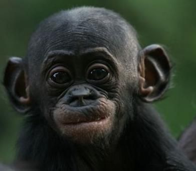 Baby Bonobo. Closer to humans genetically, than African elephants to Asian elephants. Doesn't it look like a little old man?