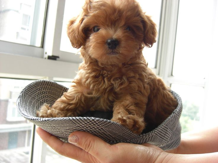 Toy poodle in a hat!