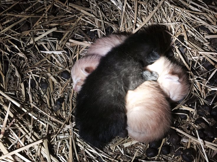 Look what I found under the goats table...kittens.