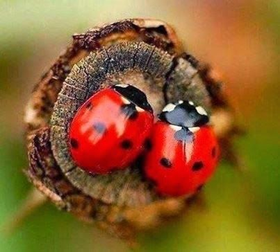 Two Ladybugs.