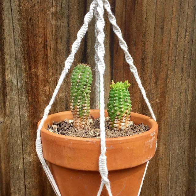 """A member of our favorite genus, we created a hanger for our cute little #SpiralSpurge cactus (""""Euphorbia spiralis""""). In the genus #Euphorbia, flowers are reduced in size and aggregated into a cluster of flowers called a cyathium (plural cyathia). This feature is present in every species of the genus Euphorbia but nowhere else in the plant kingdom!"""