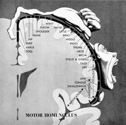 homonculous- areas of the motor cortex devoted to the human hand!