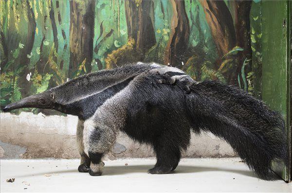 A Nyíregyházi Állatpark új, kéthetes sörényeshangyász-kölyke (Myrmecophaga tridactyla) kapaszkodik anyja hátán 2017. május 10-én. MTI Fotó: Balázs Attila - PROAKTIVdirekt Életmód magazin és hírek - proaktivdirekt.com
