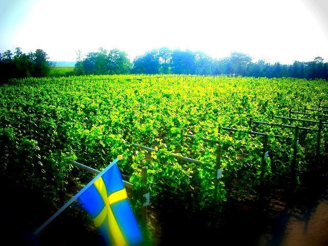 Åhus vineyard
