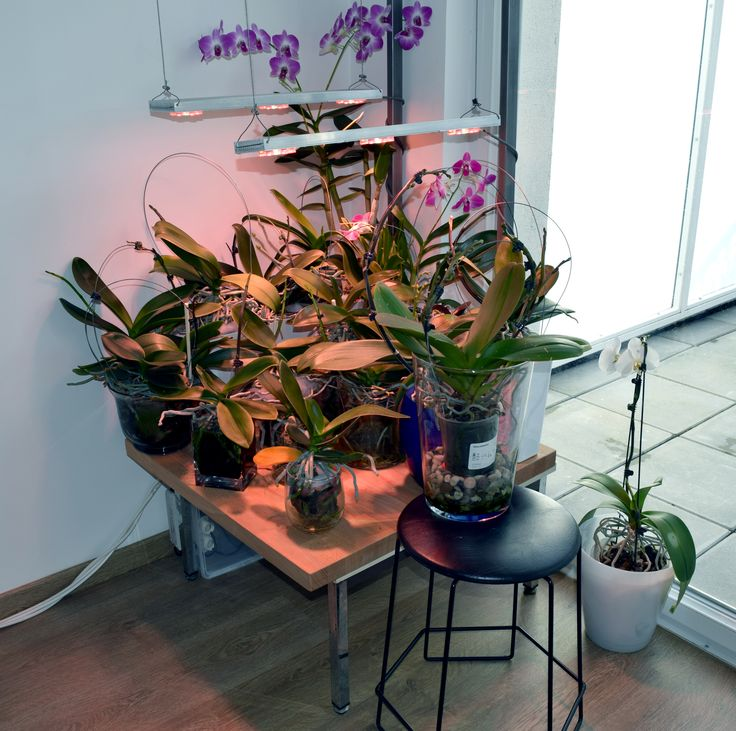 Orchid passive hydroponic and aeroponic my indoor orchid - Begonia argentata ...