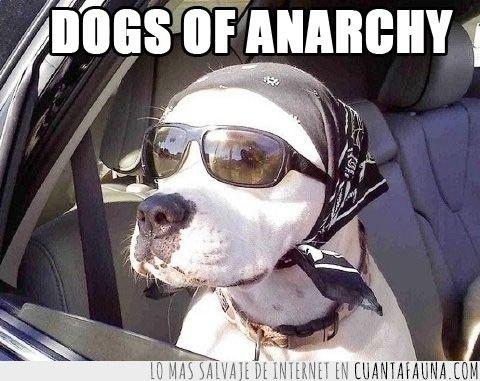 Desde que vio la serie 'Sons of Anarchy' no ha vuelto a ser el mismo #sonsofanarchy #dog #cute #tvshow
