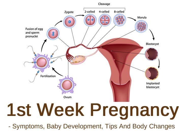 1st Week Pregnancy - Symptoms, Baby Development, Tips And Body Changes-> pregnancy week by week
