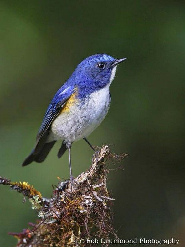 The Red-flanked Bluetail (Muscicapidae: Tarsiger cyanurus)
