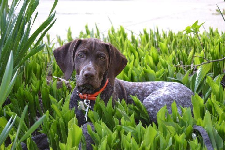 My german shorthaired pointer puppy, Blitz.