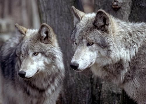 ,Dinner, Cake, Lonely Wolf, Hunting, White Wolves, Blog, Two Wolves, Beautiful Creatures, Animal