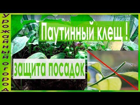 СУПЕР ПРОСТЫЕ СРЕДСТВА ОТ ПАУТИННОГО КЛЕЩА!!!! - YouTube