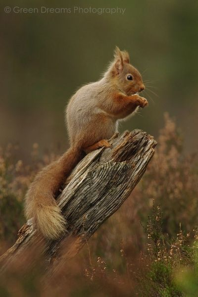 Red Squirrel - Cairngorms - Scotland