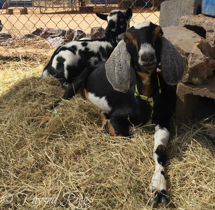38 Best Goats...and Possibly Chickens... Images On