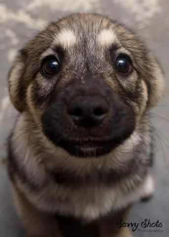 PetsLady's Pick: Cute German Shepherd Puppy Of The Day...see more at PetsLady.com -The FUN site for Animal Lovers