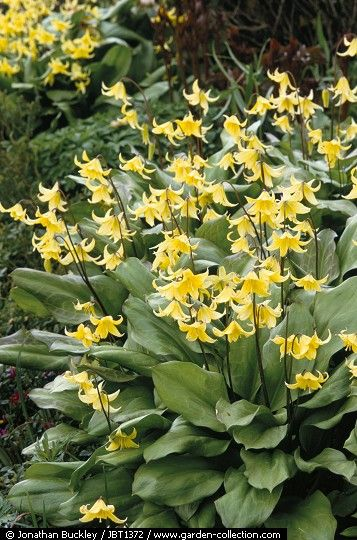 Erythronium Pagoda. Beautiful in the border in spring.