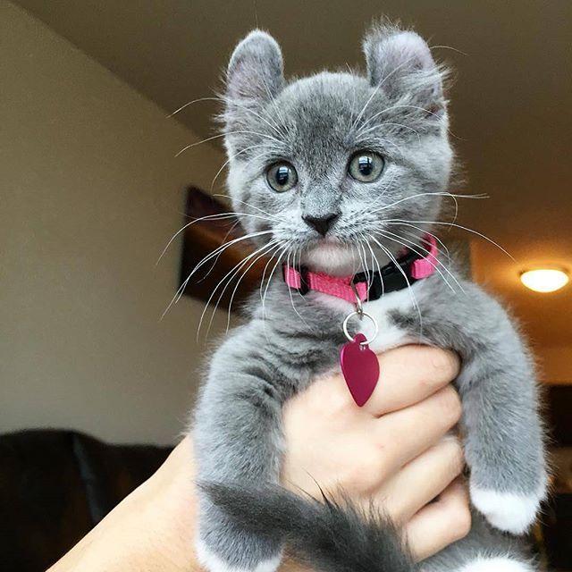 📸 by @munchkin_minnie #pleasantcats #cat #cats #kitten #kittens #kedi #katze #แมว #猫 #ねこ #ネコ #貓 #고양이 #Кот #котэ #котик #кошка #chat #neko #gato #gatto #meow #kawaii #nature #pet #animal #instacat #instapet #mycat #catlover