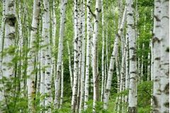 How to Paint Birch Trees With Acrylic Paint | eHow