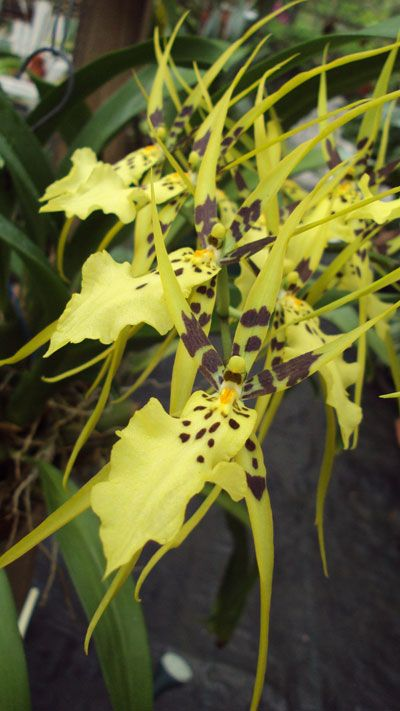 Oncidium Orchids | Oncidium-Orchid-Flower.jpg