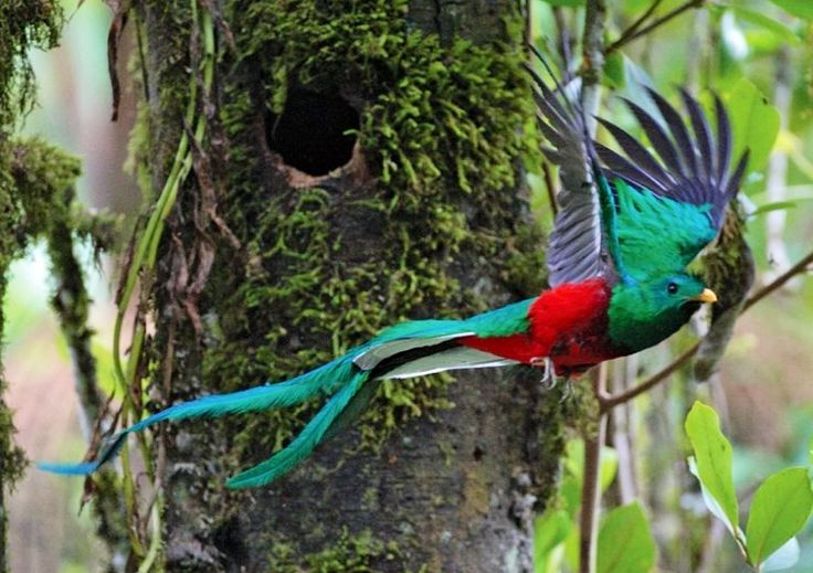 The endangered Quetzal (Pharomachrus mocinno), native to the highland forests of South America. It was sacred to the Mayan and is Guatemala's national bird.