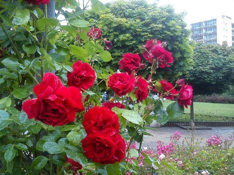 popínavé růže (70 pieces)
