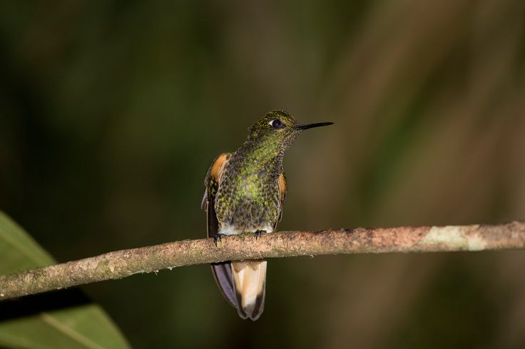 Buff tailed coronet - Buff tailed coronet in the Santander district of Colombia.