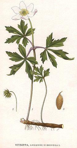 Det ensamma bladet utan blomma är den biaxel, som beskrivs i texten