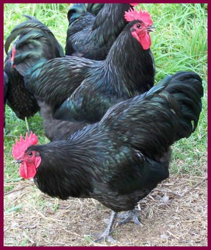 Black Australorp Chickens at the farm (1) From: Autumn Oaks Farm, please visit