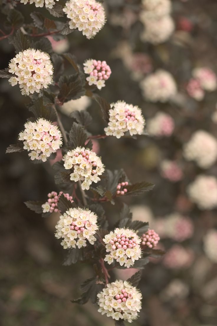 Plants for spring and summer - Summer Wine Ninebark Physocarpus Opulifolious Mature Size Dark Purple Foliage All Season And Soft Pink Flowers In Late Spring Adaptable Easy To Grow