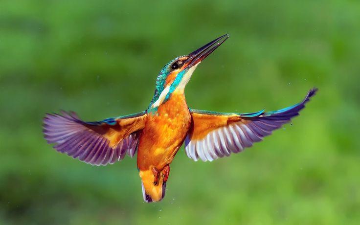 Скачать обои капли, птица, зимородок, крылья, kingfisher, раздел животные в разрешении 1920x1280