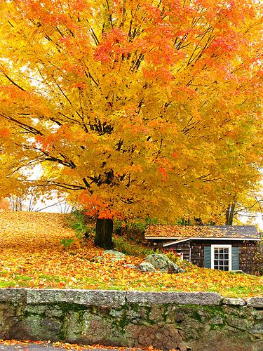 Breath taking: Beautiful Autumn, Autumn Colour For Kitchens, Fall Leaves, Fall Colors, Yellow Trees, Favorite Seasons, Front Yard, Autumn Seasons, Fall Trees