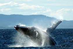 Coffs Harbour Whale Watching  2.5 Hours  $30.00 per head