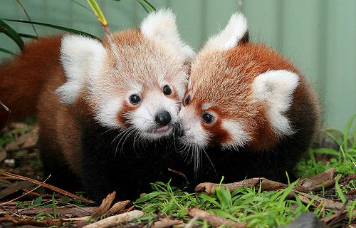 The Red Pandas Are Generally Quiet Except Some Tweeting Or Whistling Communication Sounds  - The Red Panda resembles the Raccoons, but the red panda weight could be 7 to 14 pounds and its length is about 42 inches; the tail could be 11 to 23 i... -   .
