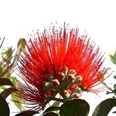 Our Kiwi Christmas flower - the Pohutukawa serviettes