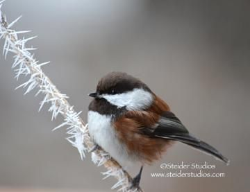 All Occasion Greeting Card Nature Photography, Little Chickadee on Hoarfrost Covered Branch by SteiderStudios for $4.25