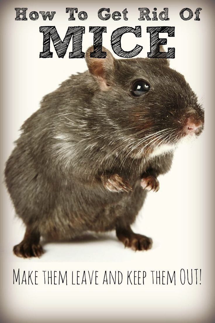 Get rid of mice naturally no cat required! Kid, The o