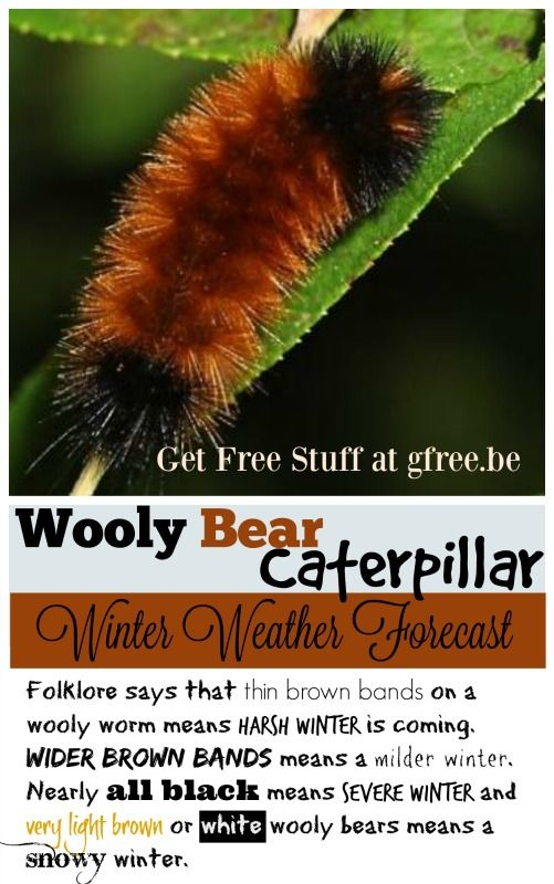 Wooly Bear Caterpillar winter weather predictions