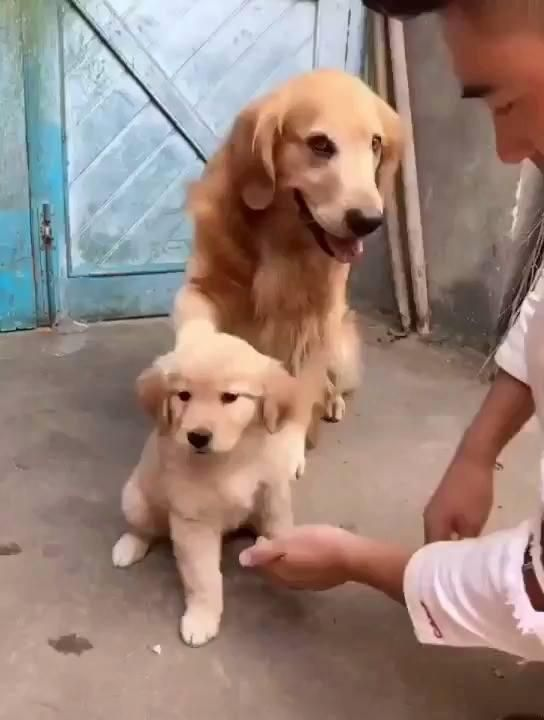 Golden Retriever Refuses To Let His Owner Shake Hands With His
