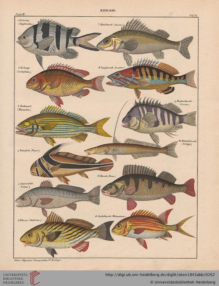 Lorenz Oken, Allgemeine Naturgeschichte für alle Stände, 1843. Fish / Barsche