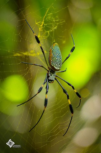 CHELICERIFORMES (Quelicerado) - Classe Arachinida, Ordem Araneae.    /   CHELICERIFORMES (Chelicerates) - Class Arachinida, Order Araneae.