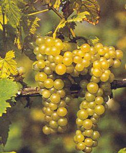 Recensione del vino Moscato oltrepò pavese