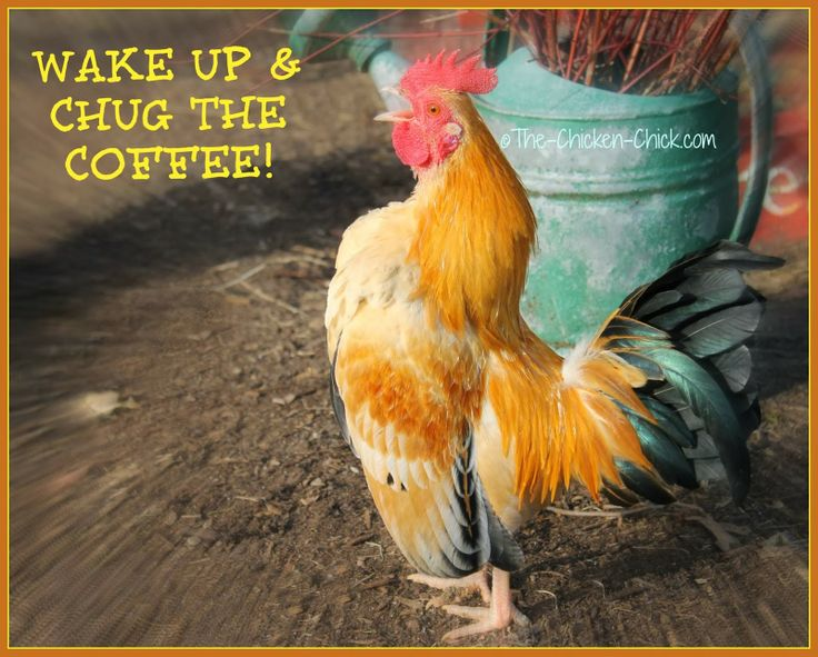 Quotes About Raising Chickens: 11 Best Images About Funny Chickens On Pinterest