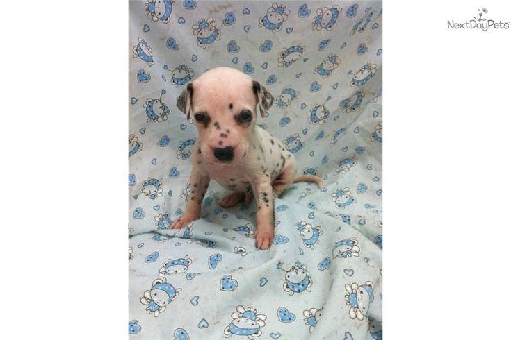 mini dalmatians | CEDRIC a cute Dalmatian puppy for sale for $1,950. Miniature Dalmatian ..