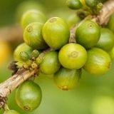 http://www.forum-brennstoffzelle.de/gesundheitlichen-vorteile-von-gruenen-kaffeebohnen/