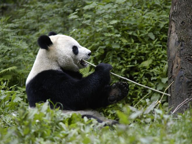 Giant Panda.  WWF (World Wildlife Fund) was the first international conservation organization to work in China at the Chinese government's invitation. WWF's main role in China is to assist and influence policy-level conservation decisions through information collection, demonstration of conservation approaches, communications, and capacity building. Thanks to this program, panda reserves now cover more than 3.8 million acres of forest.  http://worldwildlife.org/species/giant-panda