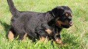 Satılık Yavru Rottweiler http://rottweiler.yavruilani.com/satilik-rottweiler-yavru-ilani/