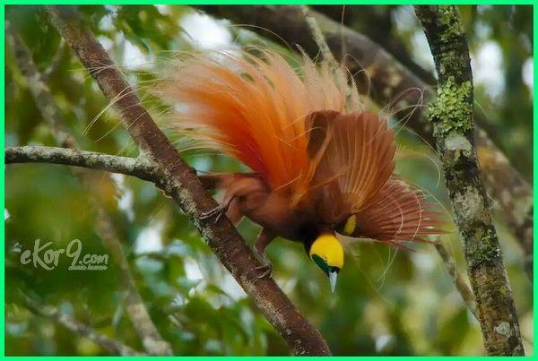 Burung Cendrawasih Cantik Yang Ada Di Indonesia Burung Habitat Binatang