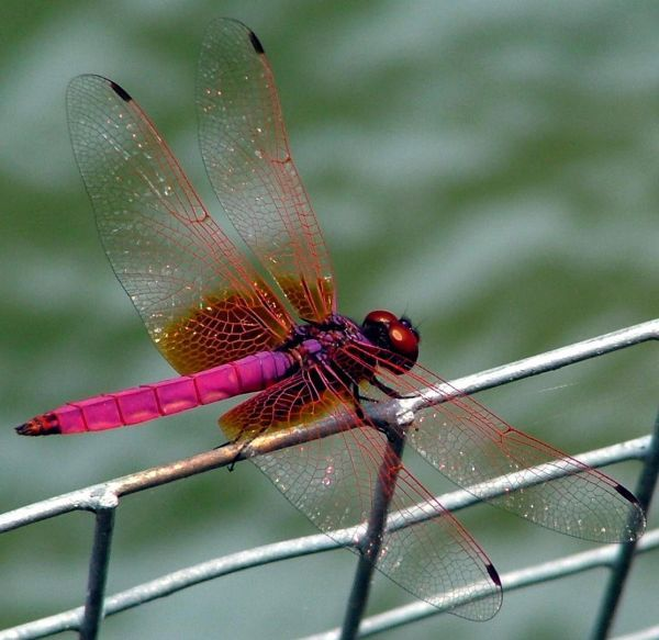In Japan the dragonfly represents courage, happiness and strength.